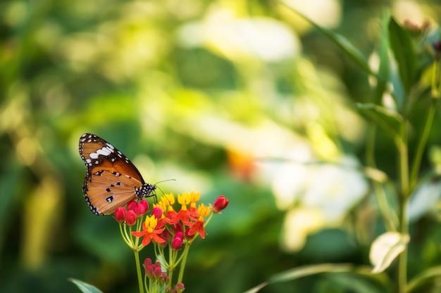 春の花にオレンジ色のオオカバマダラ