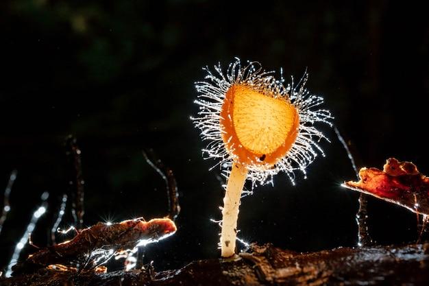 オレンジ色のキノコ、シャンパンキノコまたはまつげカップキノコの森で輝く液滴