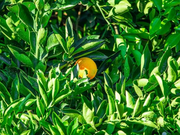 Апельсин на дереве, фруктовая плантация.