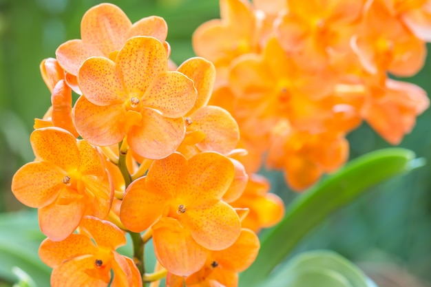 Orange orchids, ascocenda in orchid house.