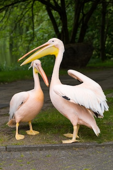 Orange pelican. big bird on the zoo.