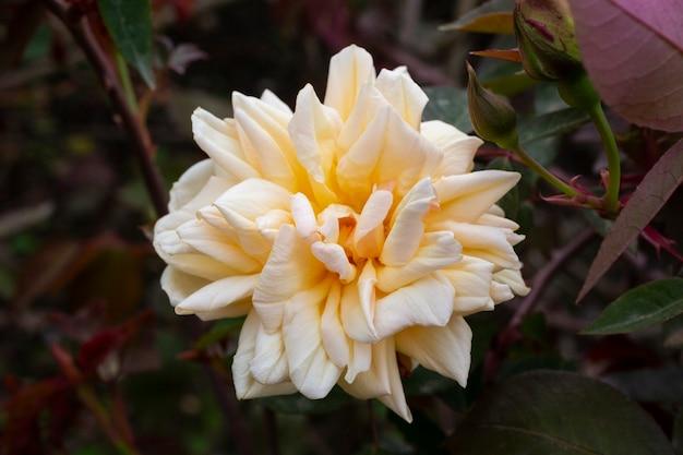 Оранжево-розовые и персиковые розы ninetta honeybun. роза нежного оттенка в саду на кусте