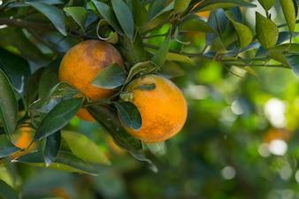 Orange plantation garden