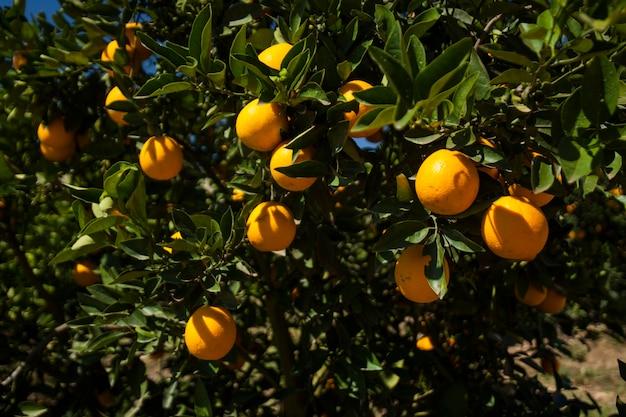晴れた日のオレンジ農園。農業。