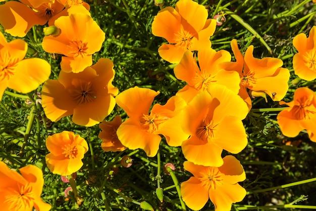 晴れた日の夏の牧草地のオレンジ色のポピー。横ショット