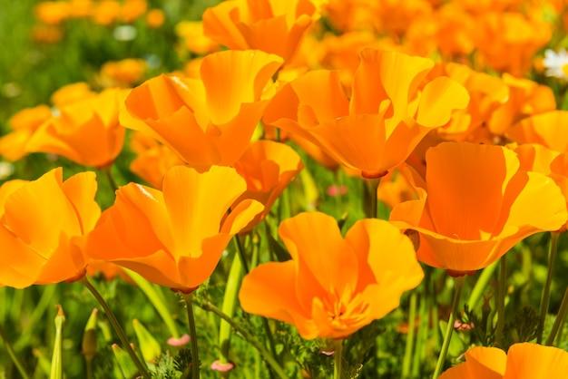 Оранжевые маки на летнем лугу в солнечный день