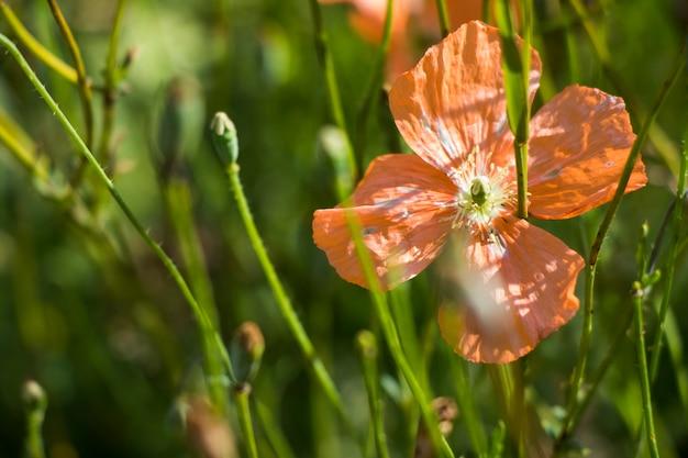 Оранжевый мак макроса, зеленый фон в грузии