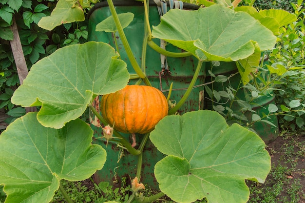 Orange pumpkin among the green leaves and lashes grows in the garden near the barrel
