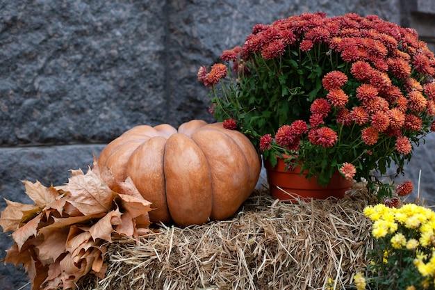 Оранжевая тыква, желтые сухие листья и осенние цветы хризантемы на тюках соломы на хэллоуин.