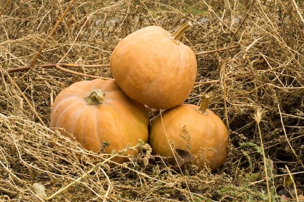 Оранжевые тыквы на открытом фермерском рынке