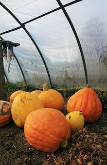 시골의 온실에 있는 주황색 호박