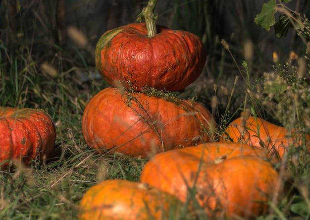 Orange pumpkins lie on the grass