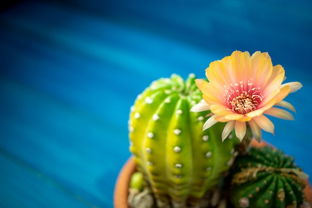 Orange and red color of lobivia cactus flower in a pot