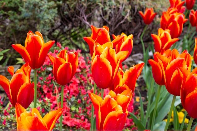 春の庭の花壇に咲くチューリップとオレンジレッドのチューリップ、夏 Premium写真