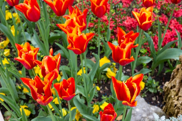 春の庭の花壇に咲くチューリップとオレンジレッドのチューリップ、夏
