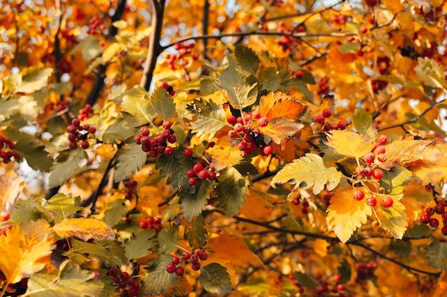 山の灰の黄色の葉と山の灰のオレンジ色の熟した花束