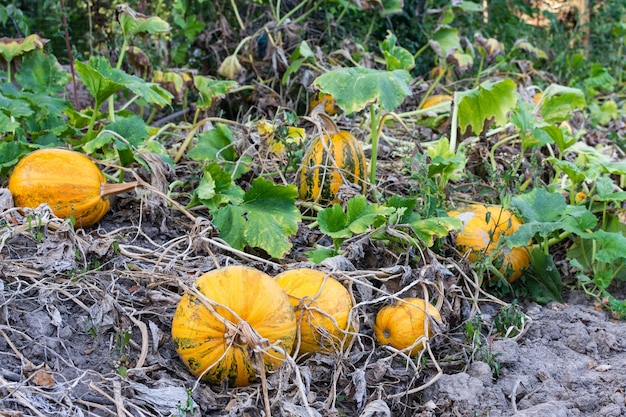 Созревшие в апельсине тыквы в саду, свежие органические овощи с огорода