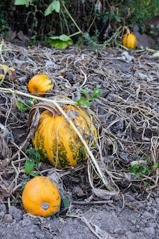 정원에서 오렌지 익은 호박, 정원에서 가져온 신선한 유기농 야채