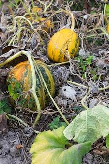 정원에서 오렌지 숙성 호박, 정원에서 신선한 유기농 야채