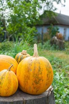 오렌지 익은 호박은 나무 그루터기, 정원에서 신선한 유기농 야채에 놓여 있습니다.