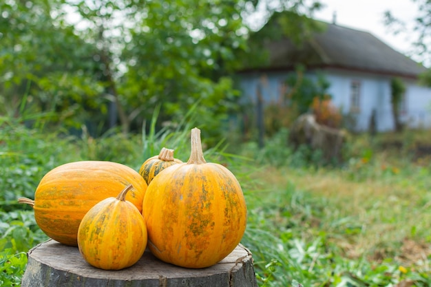 Orange ripened pumpkins lies on a tree stump, fresh organic vegetables from the garden
