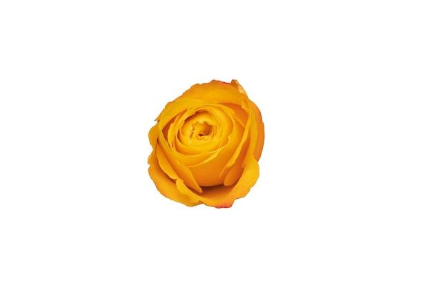오렌지 장미 꽃 봉 오리 흰색 배경에 고립입니다. 디자인에 대 한 아름 다운 꽃입니다. 위에서 볼. 고품질 사진