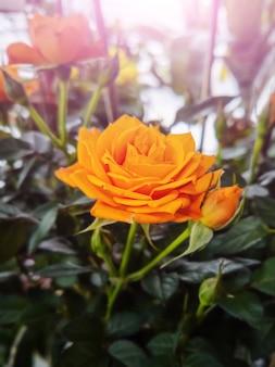 Orange rose close-up, a plant in a pot.