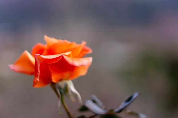 前景の焦点がぼけた壁紙とホリデーカードのぼやけた背景にオレンジ色のバラ。