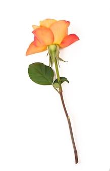 Оранжевые розы, изолированные на белой поверхности Premium Фотографии