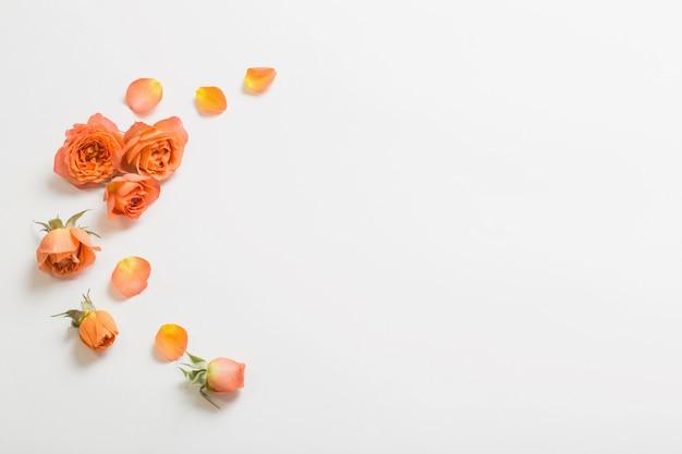 Оранжевые розы на белом фоне