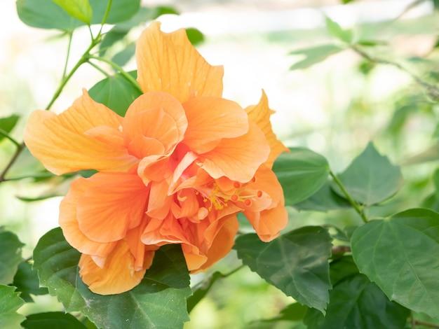 Orange shoe flower or chinese rose