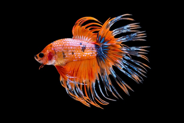 Orange siamese fighting fish
