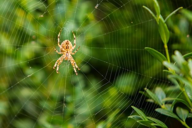 Оранжевый паук на паутине против зеленого куста