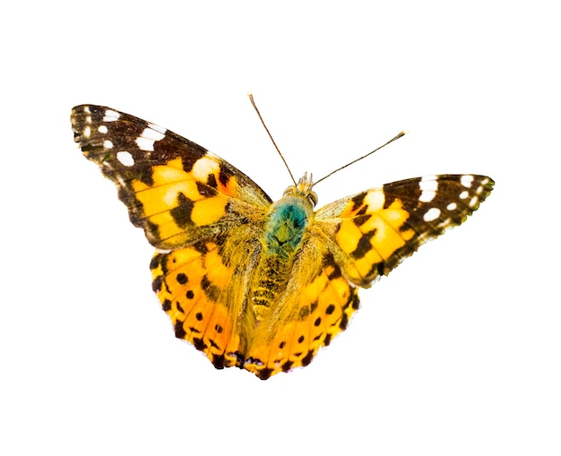 Orange spotted butterfly during a flight on a white isolated background_