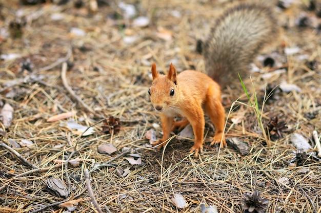 Orange squirrel in autumn park
