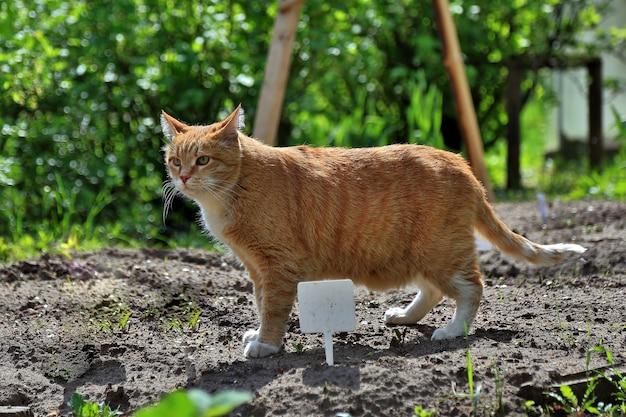 주황색 줄무늬 고양이는 땅에 서서 자연을 사냥하고 있다