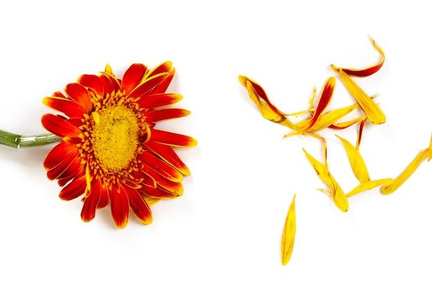 オレンジの破れた花びらと色あせたオレンジガーベラ、分離