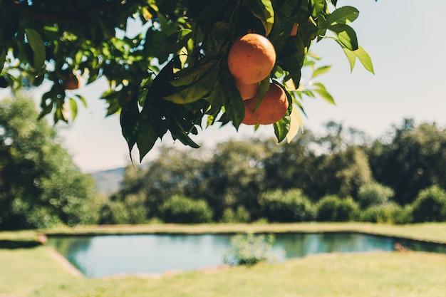 오렌지 나무와 오렌지 매달려
