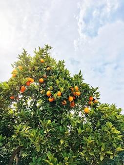 Orange tree on blue sky. fresh ripe fruits on branches with green leaves. fruit garden, kemer, turkey.
