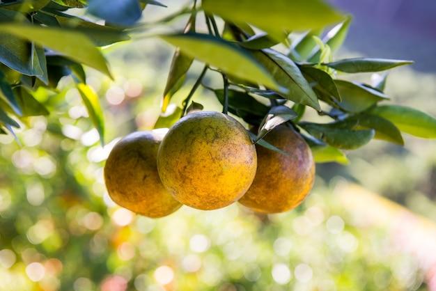 オレンジの木、農場の新鮮な果物