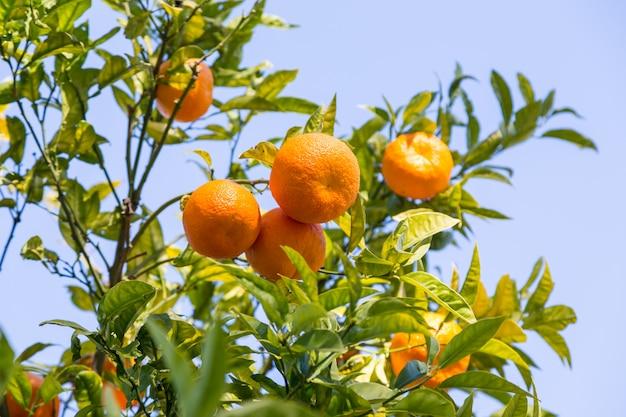 Апельсиновое дерево в дневном солнечном свете