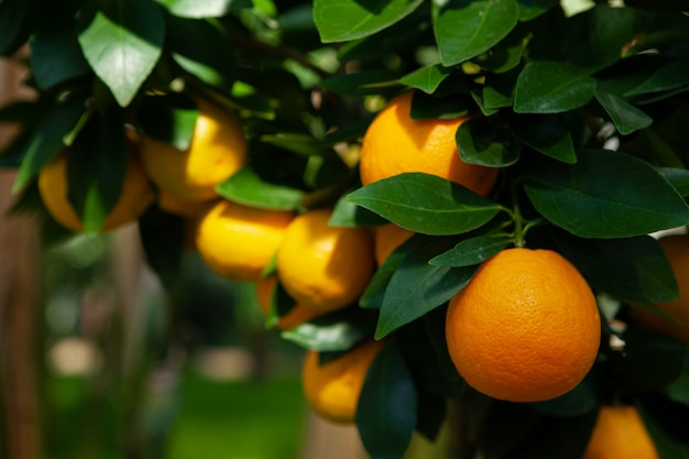 Апельсиновое дерево в саду. спелые ярко-оранжевые фрукты на ветке. летом.