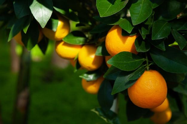 Апельсиновое дерево в саду. спелые ярко-оранжевые фрукты на ветке.