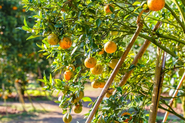 Orange tree - orange farm in fang district at chiang mai, thailand