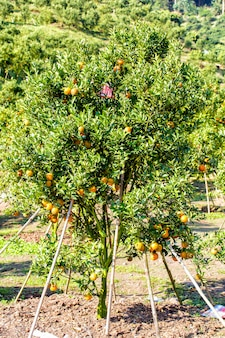 Orange tree - orange farm in fang district at chiang mai, thailand