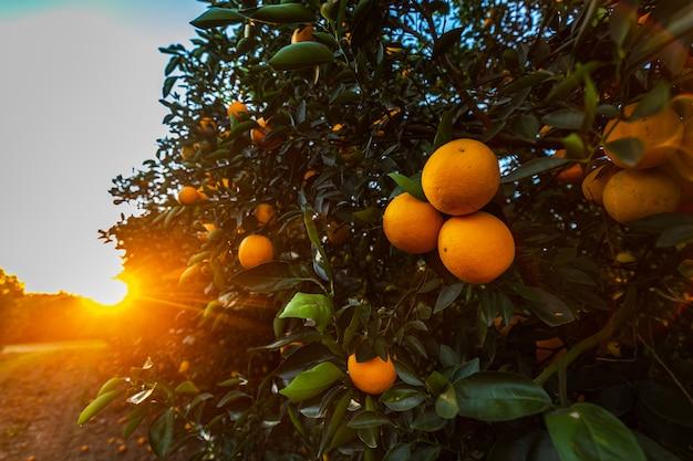 Плантация апельсинового дерева