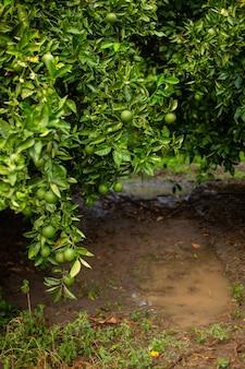 정원에 녹색 오렌지가 있는 오렌지 나무