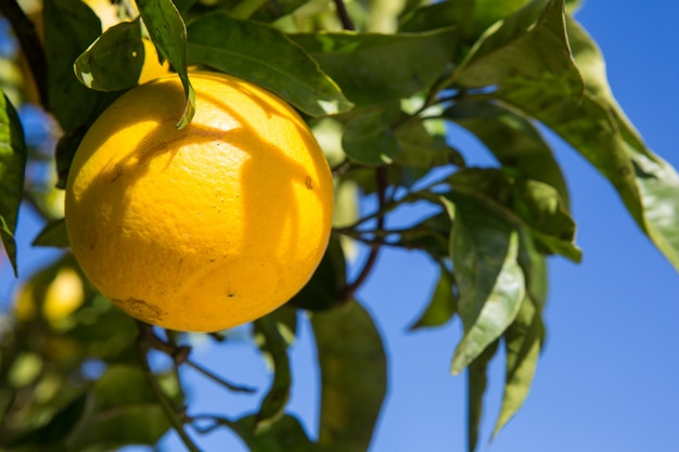 햇빛에 잘 익은 과일과 오렌지 나무입니다. 수평 샷