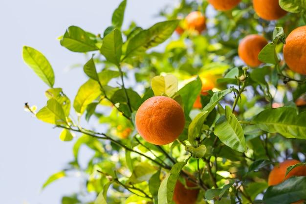 Апельсиновое дерево со спелыми плодами