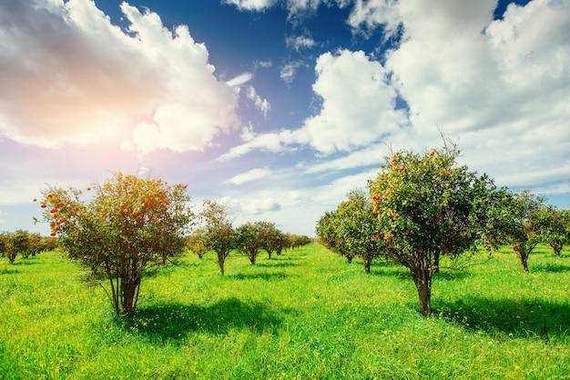 Плантации апельсиновых деревьев. сицилия италия европа